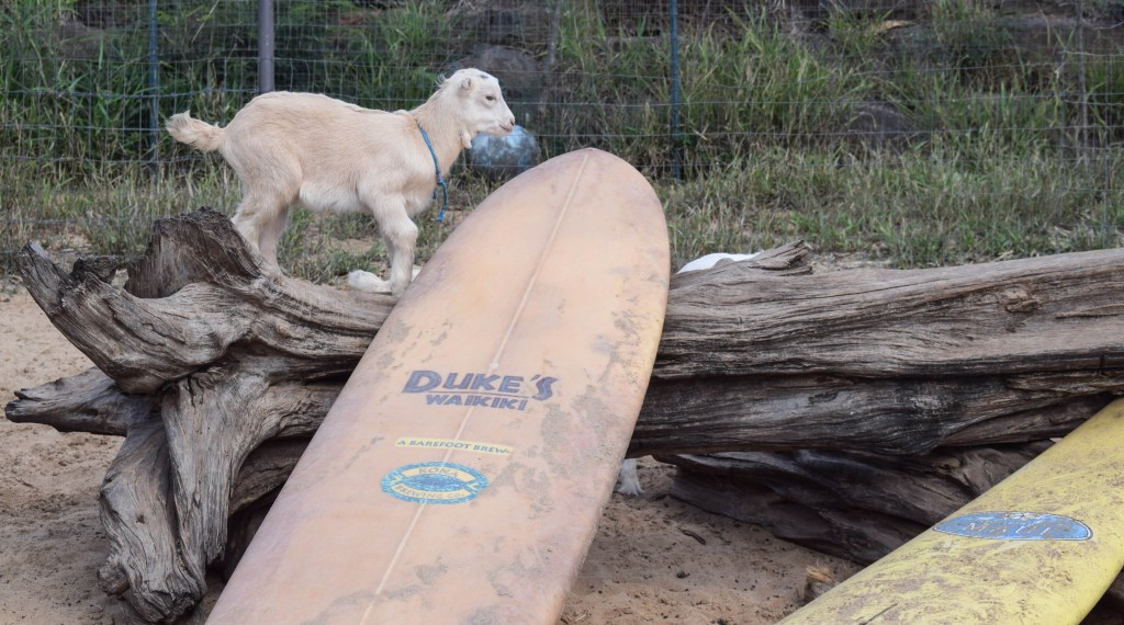 Surfing Goat Dairy Farm, Kula, Maui