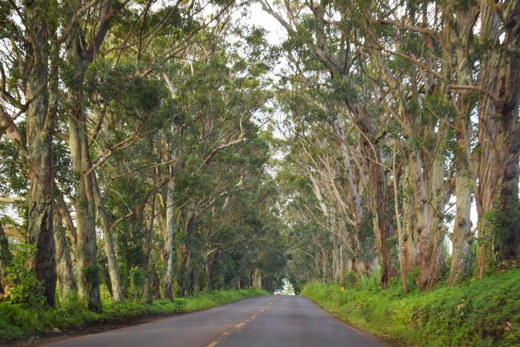 Maluhia Road Tree Tunnel, Kauai