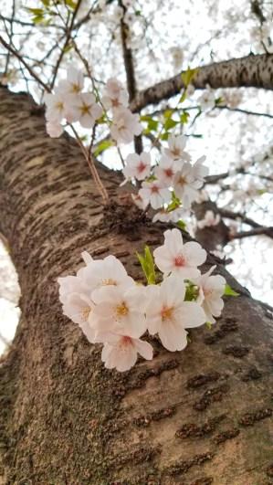 Sakura Trunk