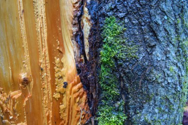 Cedar wood juxtaposed with mossy bark