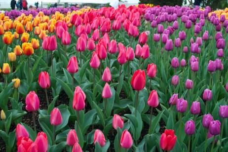 Skagit Tulips7