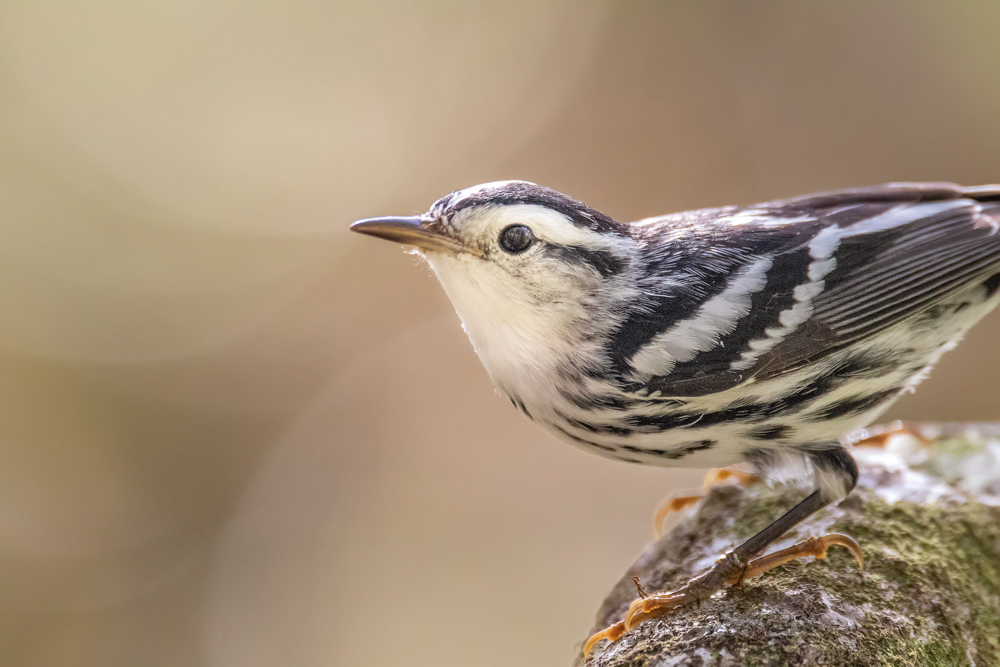 CulturallyOurs A Guide To Birding 101 Black and White Warbler North America