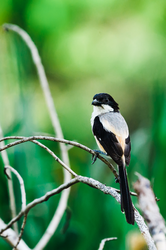 CulturallyOurs A Guide To Birding 101 Longtailed Shrike Manila Philippines