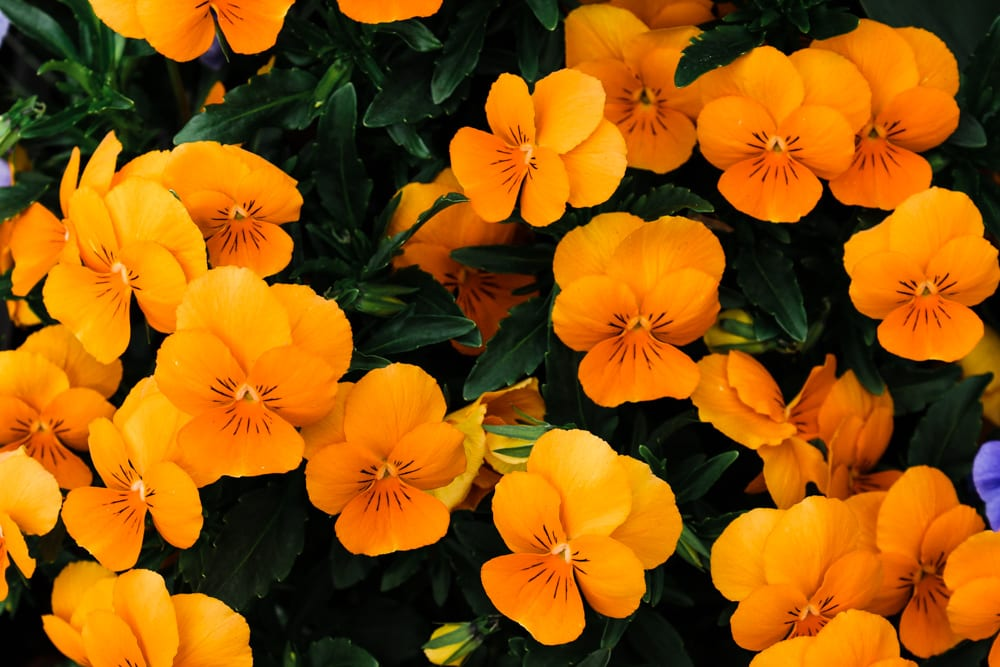 CulturallyOurs Five Edible Flowers To Use In Your Kitchen Nasturtiums