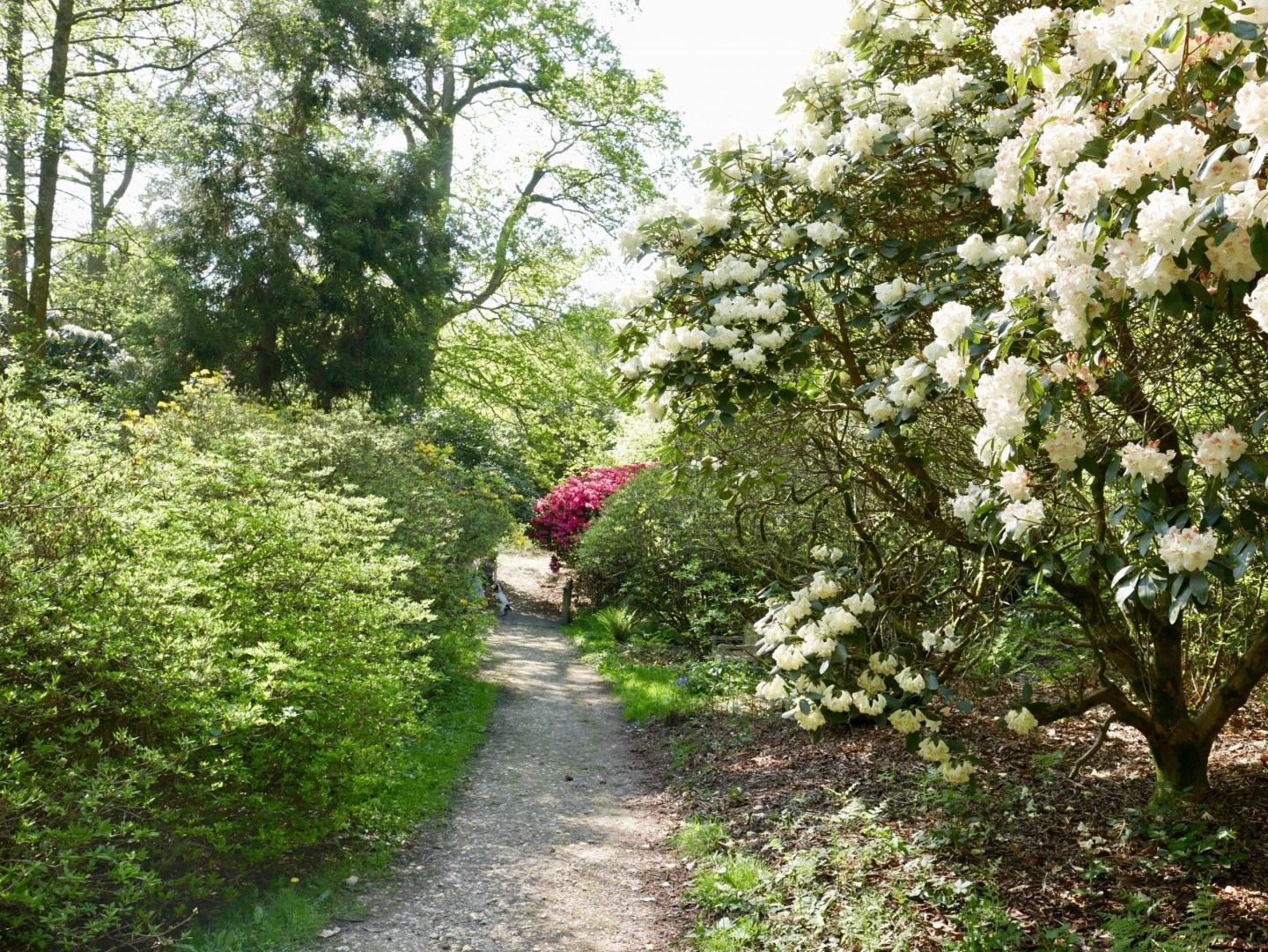 Leith Hill Place Caroline Wedgwood rhododendron wood