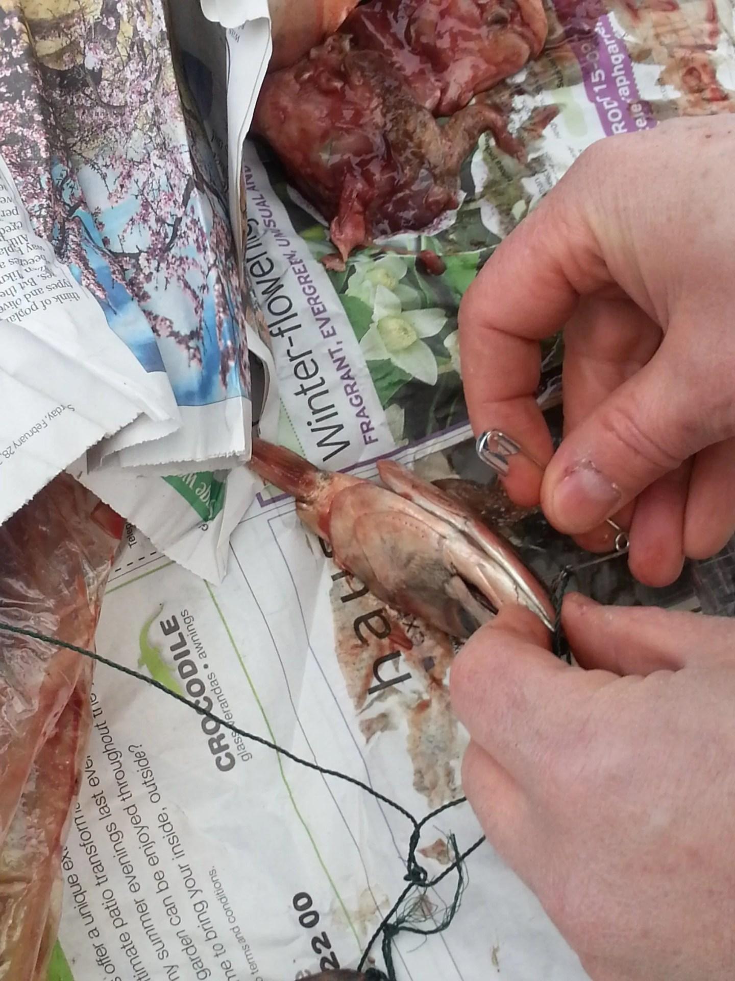 Crabbing bait fish heads