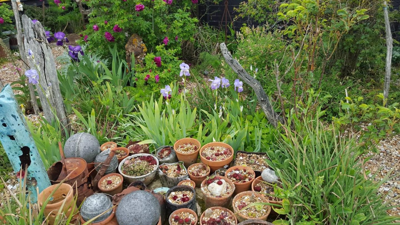 Sempervivum and iris, Prospect Cottage