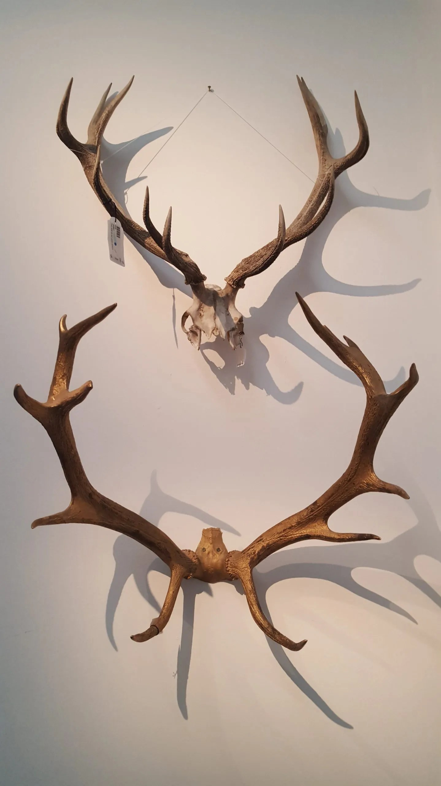 Duchess of Devonshire antlers