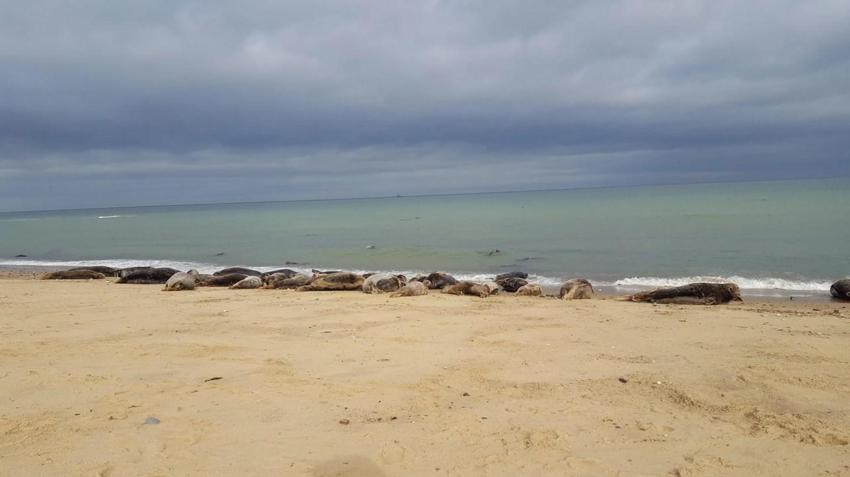 Grey Seals Horsey Beach Norfolk
