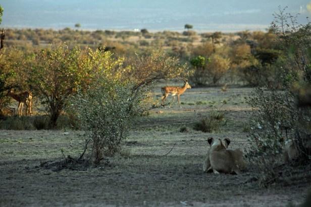 Løvejakt. Masai Mara, Kenya. Foto: Siri Wolland