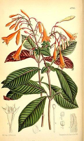 290px-Fuchsia_triphylla
