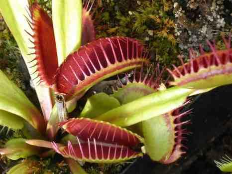 venus-flytrap-1531345_1280
