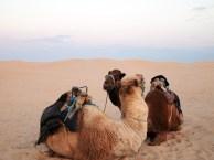 Camel love, Tunisia