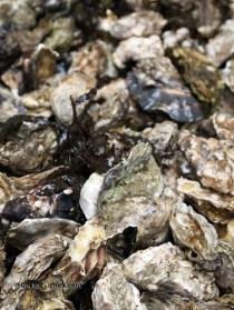 Fresh oysters, Isle of Skye, Scotland