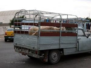 Sheep on truck, Tunisia