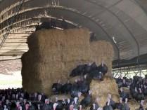 Turkey on hay at Copas farm