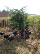 Turkeys in reed at Copas farm