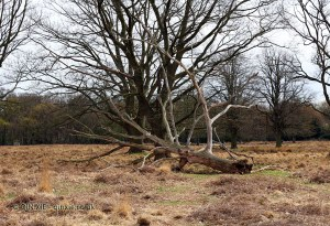 Fallen tree, Richmond Park
