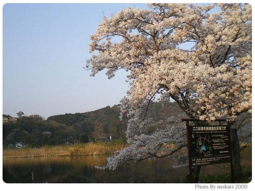 20090411-3 京都市花見:深泥池2009年