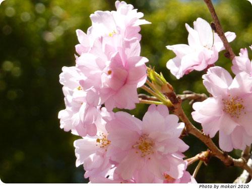 20100414-1 京都市花見:上賀茂神社2010年 風流桜