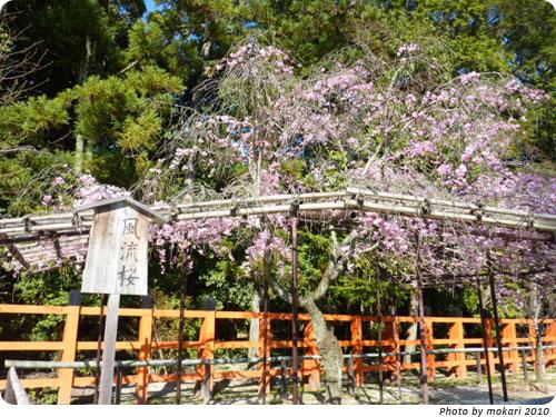 20100414 京都市花見:上賀茂神社2010年 風流桜