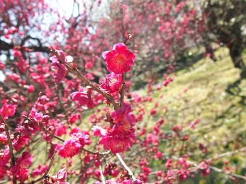 P3123924 3月梅を見に、京都府立植物園へ(2013年)