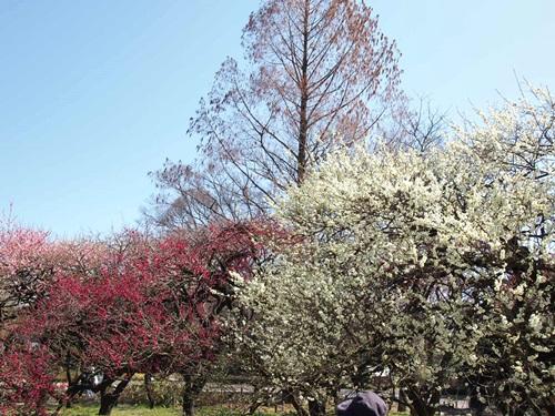 P3123926 3月梅を見に、京都府立植物園へ(2013年)
