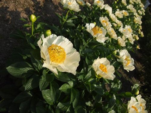 P5095812 シャクヤクを見に京都府立植物園へ(2013年5月)