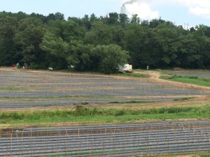 Fields being used for commercial production of staked tomatoes