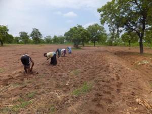 Women sow a groundnut farm in early June