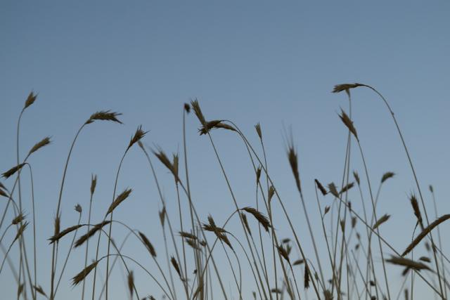 Grains of grass against a blue sky