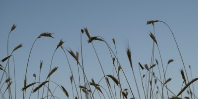 Grains of grass against a blue sky