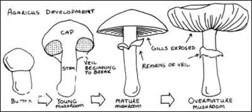 mushroom_growing_stages