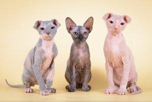 pisici pentru persoanele alergice