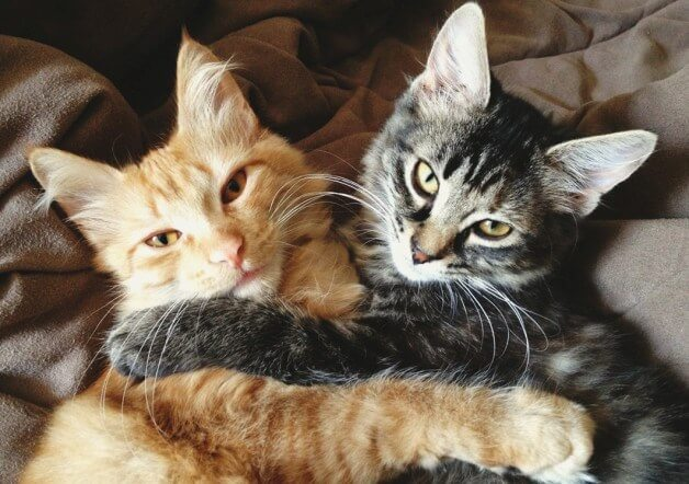 doua pisici