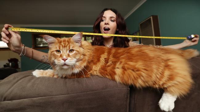 cea mai lunga pisica din lume