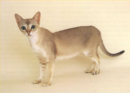 pisica_singapura