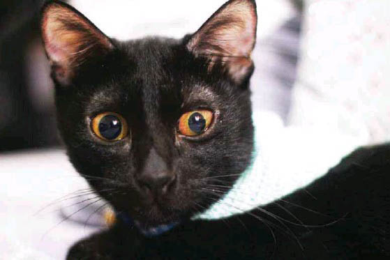 peritonita infectioasa felina2