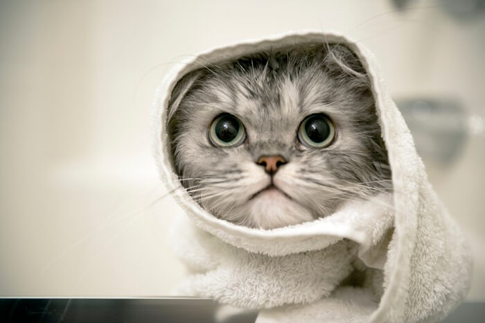 cum sa ii faci baie pisicii
