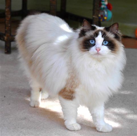 pisica ragdoll