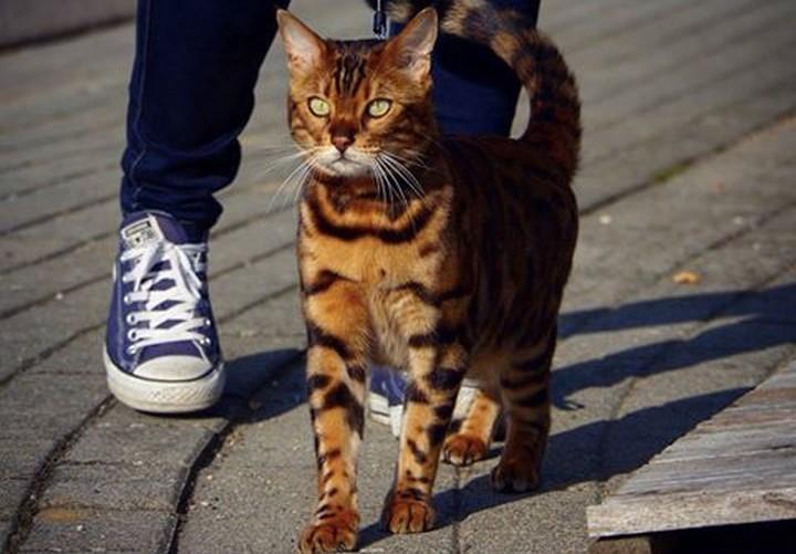 rasa de pisici potrivita pentru tine