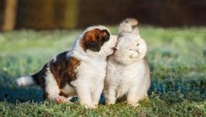 cunostinta pisicii tale cu un catelus