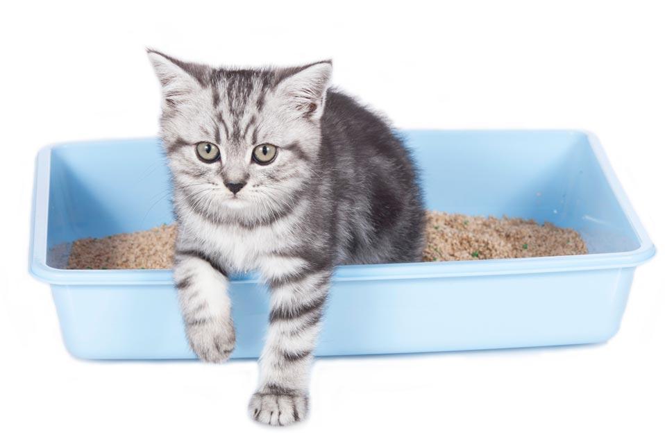inveti pisica sa foloseasca litiera