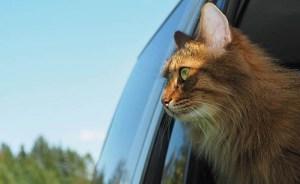 calatoresti cu pisica in masina la drum lung