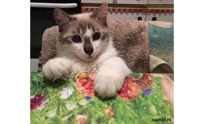 pisica supraponderala