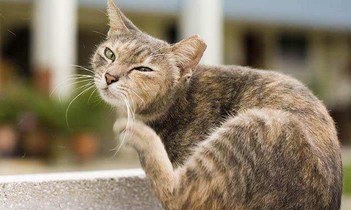 Deparazitarea externa la pisici