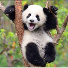 panda-non-sono-piu-a-rischio