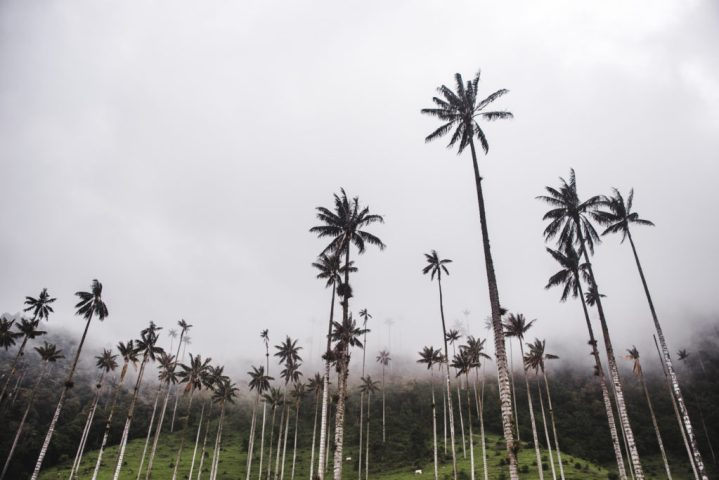 cocora valley wax palm trees Salento, Quindio | Things to do in Salento Colombia Travel guide