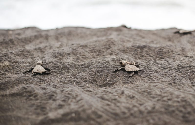 Hatched baby turtle release playa cuevita el valle tours chocó colombia ecotourism