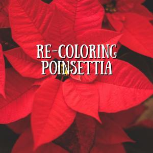 poinsettis splash